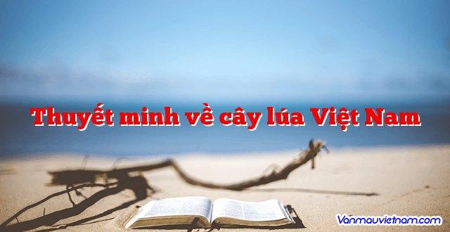 Thuyết minh về cây lúa Việt Nam